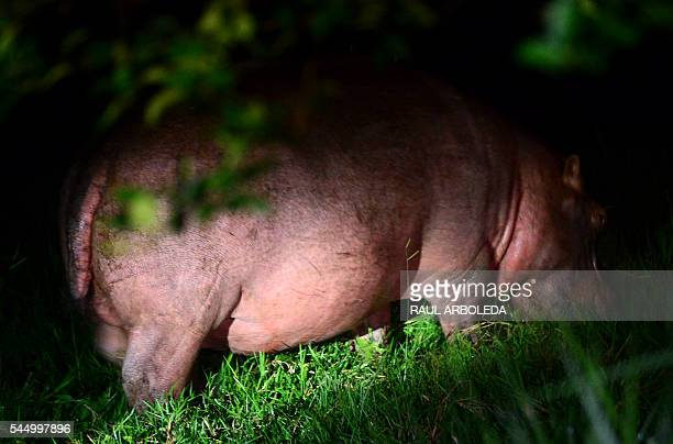 A hippo feeds at a farm on the outskirts of Doradal Antioquia department Colombia near the Hacienda Napoles theme park once the private zoo of drug...