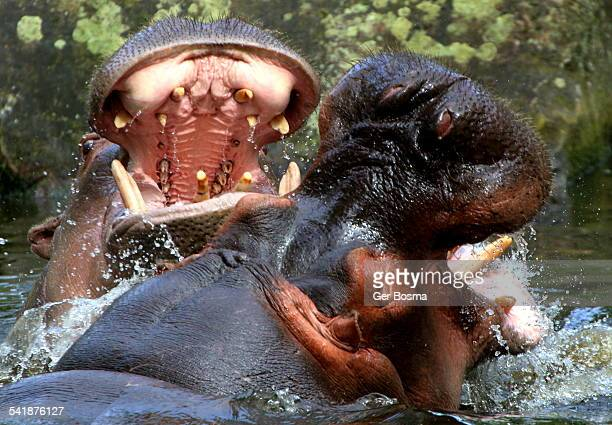 Hippo Fight Club