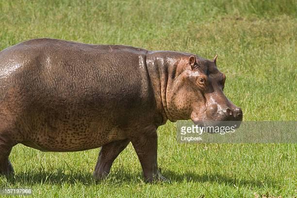 Hippo gazing
