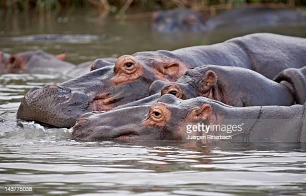 Hippo, Hippopotamus amphibius