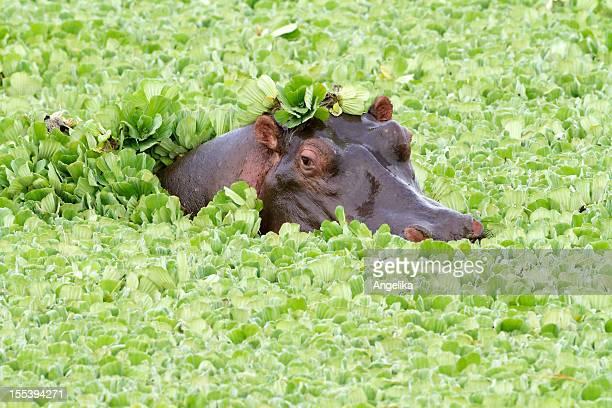 Hippo in a pond, Masai Mara National Park, Kenya