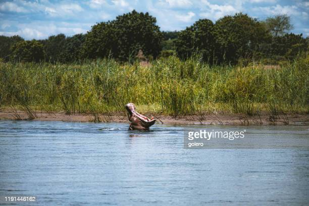 hippo in the zambezi river showing teeth - territory stock pictures, royalty-free photos & images