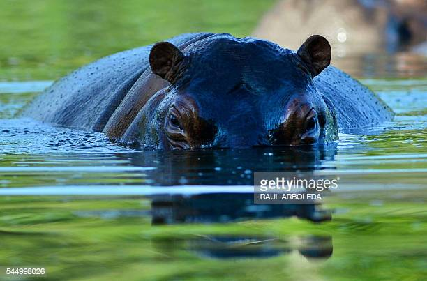 TOPSHOT A hippo is seen at the Hacienda Napoles theme park once the private zoo of drug kingpin Pablo Escobar at his Napoles ranch in Doradal...