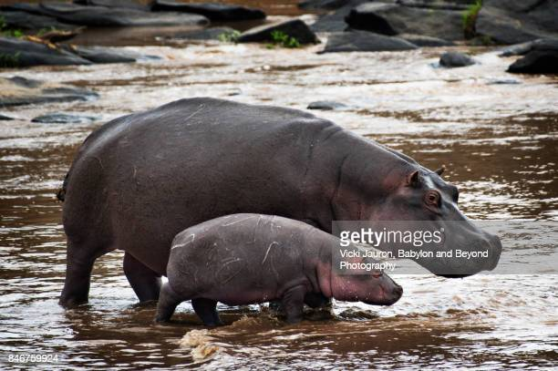 Hippo Mother and Baby Standing in the Water at Masai Mara