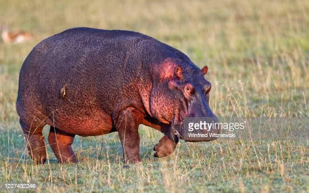 hippo (hippopotamus amphibius) - wasser stock pictures, royalty-free photos & images