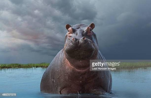 hippo (hippopotamus amphibius) - waterhole stock pictures, royalty-free photos & images