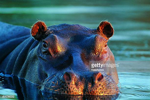 hippo (hippopotamus amphibius) - moremi wildlife reserve stock photos and pictures
