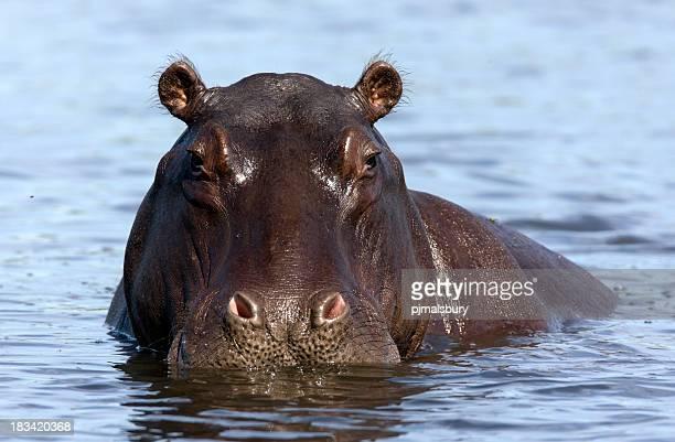 Hippo Porträt
