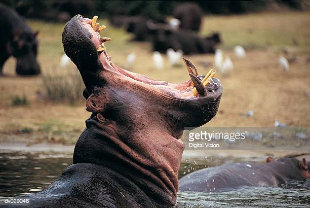 Hippo (Hippopotamus amphibius), Queen Elizabeth Park, Uganda