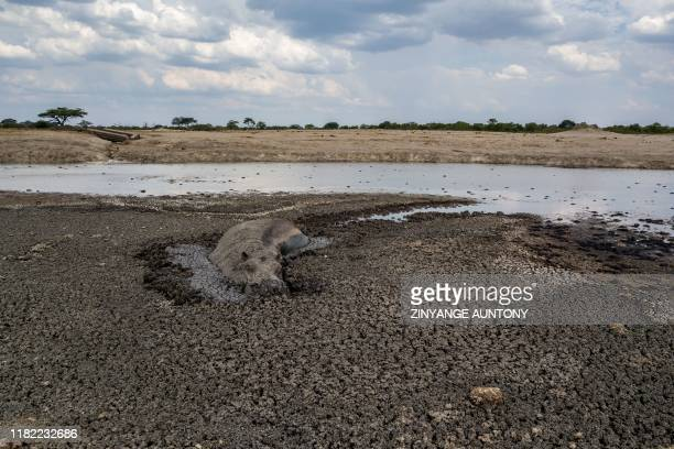 Hippo stuck in the mud at a drying watering hole in the Hwange National Park, in Zimbabwe, on November 12, 2019. - Over 200 elephants have died along...
