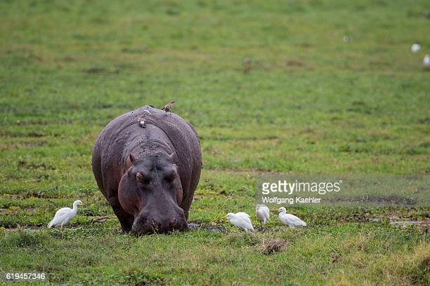 A hippo surrounded by cattle egrets is feeding in a swamp in Amboseli National Park Kenya