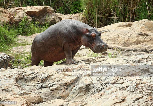 Hippo walks across the Crocodile River in the Kruger National Park during the second round of the Alfred Dunhill Championship at Leopard Creek...