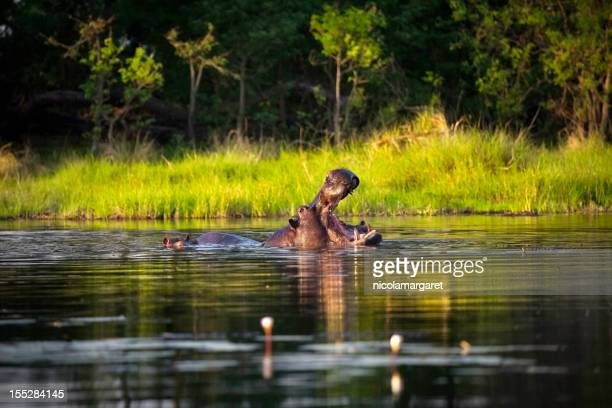 Hippo with open mouth in the water in Botswana