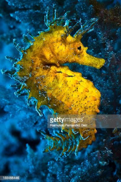 hippocampus ramulosus - sea horse stock photos and pictures