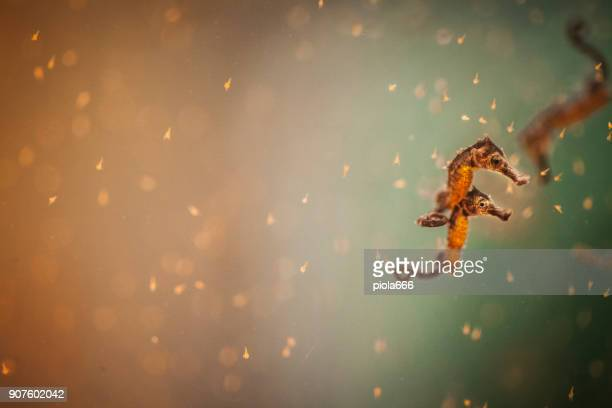 hippocampus sea horse - sea horse stock photos and pictures