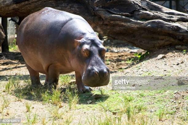 Hippopotamus amphibious keen swimmer and can stay underwater in zoo, Bombay Mumbai, Maharashtra, India