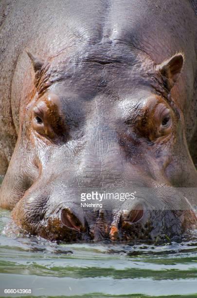 Hippopotamus amphibius in water
