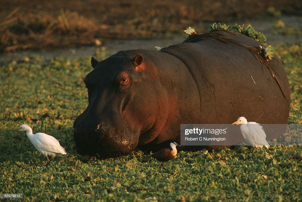 Hippopotamus (Hippopotamus amphibius) and Cattle Egret (Bubulcus ibis) Surrounded by Water Hyacinth : Stock Photo