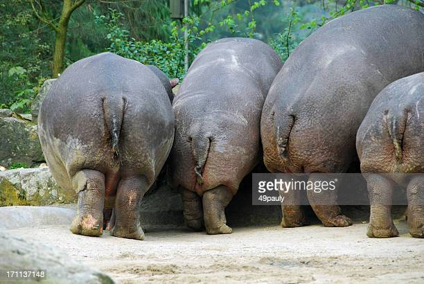 Hippopotamus and humor