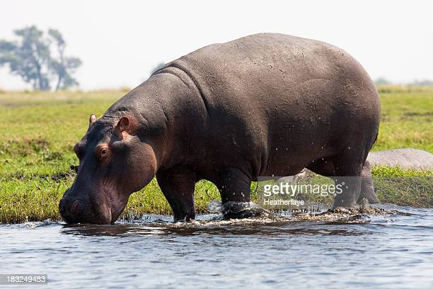 Hippopotamus at edge of water, Chobe National Park, Botswana