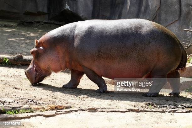 Hippopotamus at the Milwaukee County Zoo on JUNE 08 2013