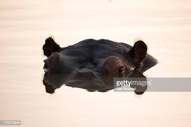 Hippopotamus breaches the water in a pool in Kruger National Park on July 8 2013 in Lower Sabie South Africa The Kruger National Park was established...