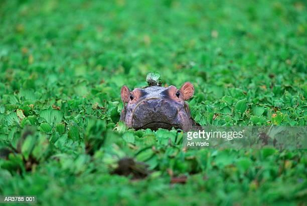 Nilpferd (Nilpferd amphibius) Kalbsleder, Tansania