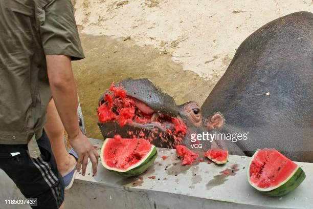 A hippopotamus eats chilled watermelons at a zoo on July 29 2019 in Yantai Shandong Province of China