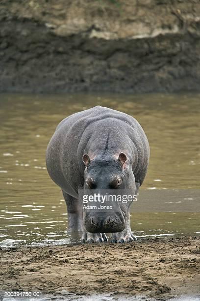 Hippopotamus (Hippopotamus amphibius) emerging from river