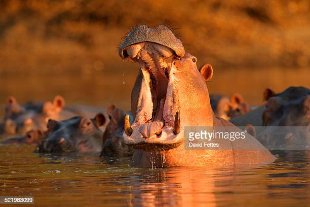 Hippopotamus (Hippopotamus amphibius) giving warning yawn, Mana Pools National Park, Zimbabwe