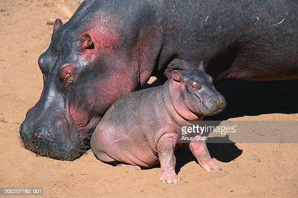 hippopotamus (hippoptamus amphibius) grooming it's calf, masai mara n.r, kenya - jeune animal photos et images de collection