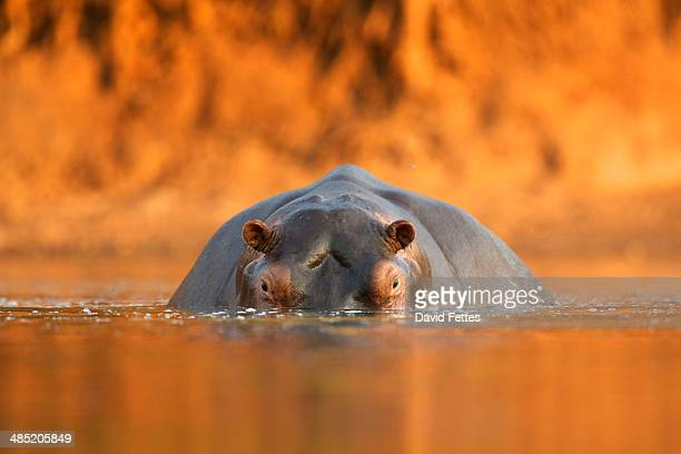 Hippopotamus / Hippo - Hippopotamus amphibius - at sunset,  Mana Pools National Park, Zimbabwe, Africa