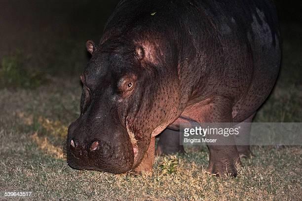 hippopotamus -hippopotamus amphibius- grazing, nocturnal foraging, south africa - animal digestive system stock photos and pictures