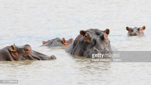 hippopotamus - hippopotamus amphibius in ngorongoro conservation area - marek stefunko stock pictures, royalty-free photos & images