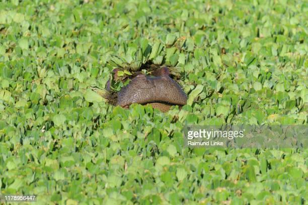 hippopotamus, hippopotamus amphibus, in pond covered with water lettuce, masai mara national reserve, kenya, africa - lichaamsdeel van dieren stockfoto's en -beelden