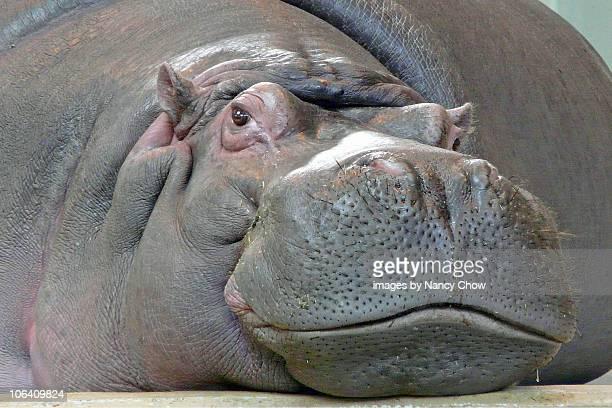 Hippopotamus in  Calgary Zoo.