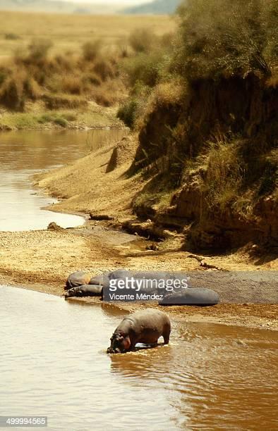 Hippopotamus in the Mara River