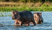 Hippopotamus in the water.