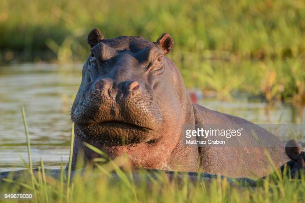 Hippopotamus (Hippopotamuspotamus amphibius) in water, Portrait, Moremi Wildlife Reserve, Chobe District, Botswana
