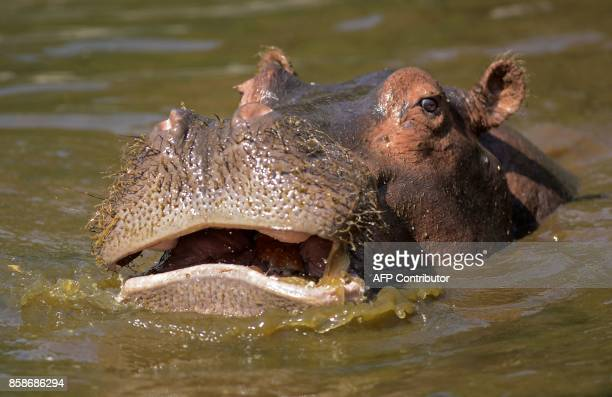 A hippopotamus is seen at Egypt's Giza Zoo in Cairo on August 1 2017 / AFP PHOTO / MOHAMED ELSHAHED