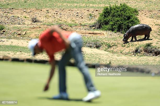 Hippopotamus is seen next to the green during the final round of The Alfred Dunhill Championship at Leopard Creek Country Golf Club on December 4...