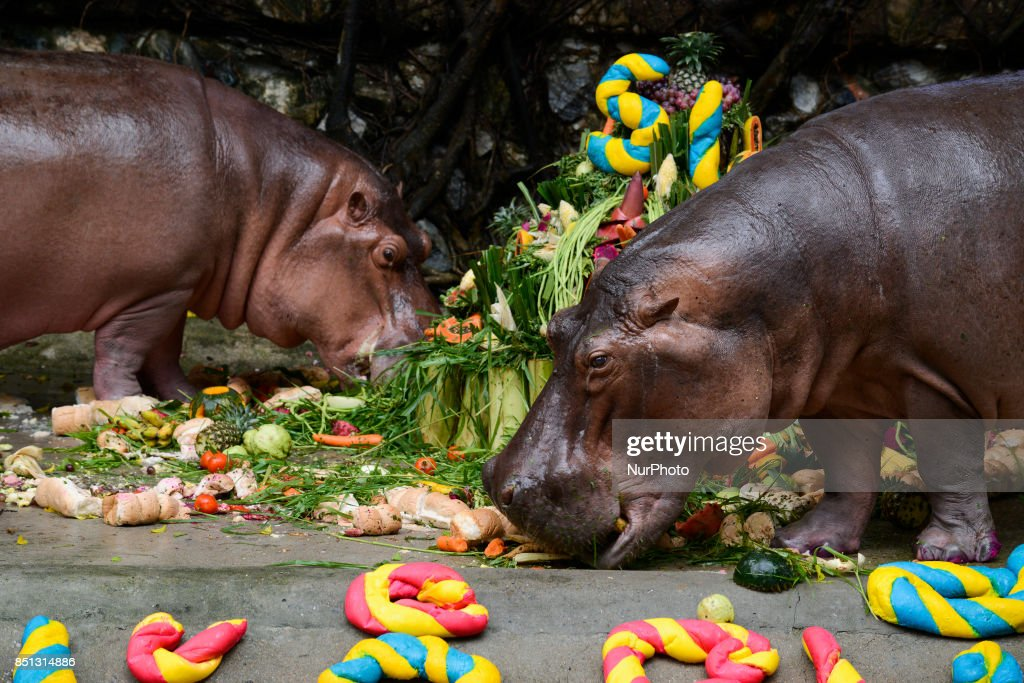 Incredible Hippopotamus Mali Eats Her Birthday Cake Made Of Fruit And Personalised Birthday Cards Veneteletsinfo