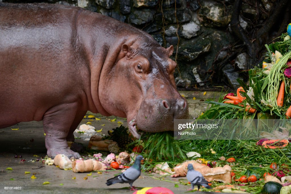 Zoo Celebrate The 51th Birthday Of Hippopotamus In Thailand News Photo