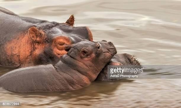 Hippopotamus (Hippopatamus amphibius) mother and calf