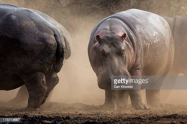 Hippopotamus move from the path of an Elephant in Krugar National Park on July 8 2013 in Lower Sabie South Africa The Kruger National Park was...