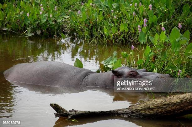 A hippopotamus named Tyson by local residents remains in a stream where it was found at Las Choapas locality in Veracruz state Mexico on March 14...