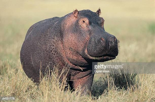 Hippopotamus (Hippopotamus amphibius) on land, Masai Mara, Kenya