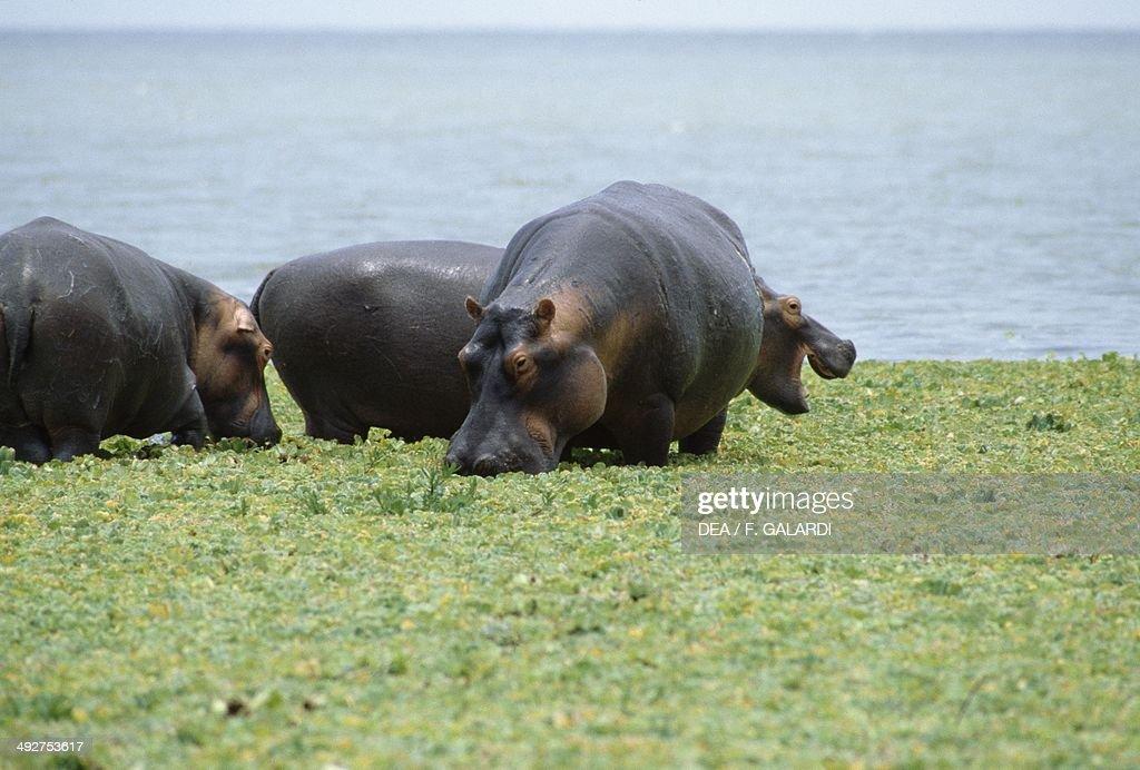 Hippopotamus or Hippo , Hippopotamidae.
