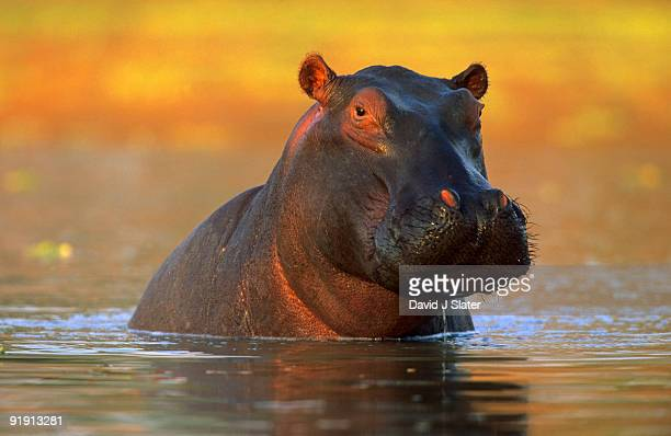hippopotamus - south luangwa national park stock pictures, royalty-free photos & images