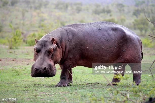 Hippopotamus, (Hippopatamus amphibius)